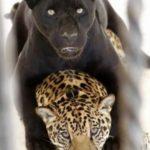 Попаданка из клана черных пантер